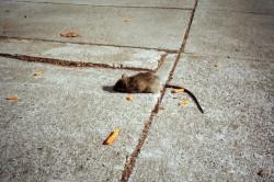 Dead junk rat